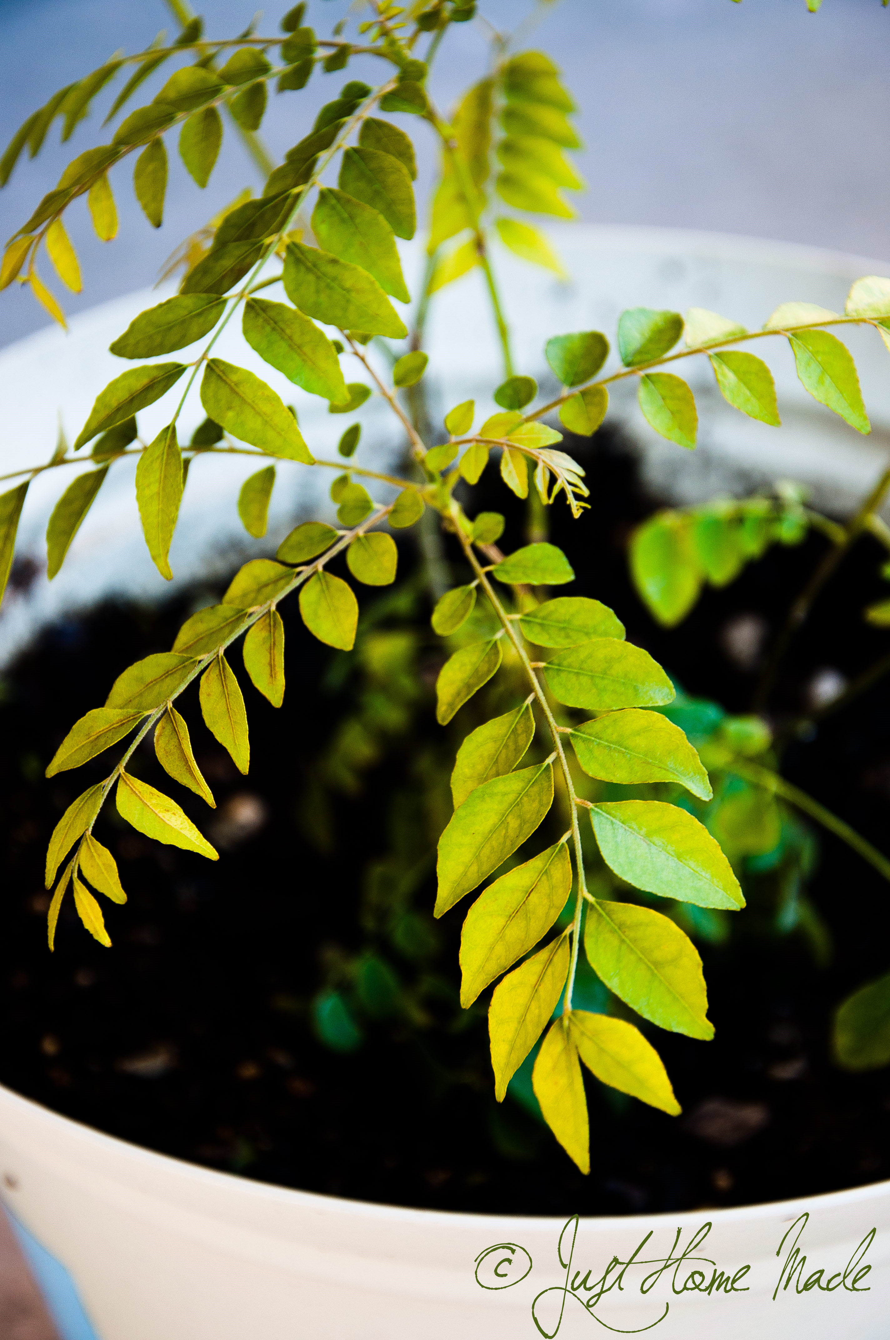 Curry Leaf Closeup
