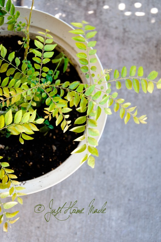 Curry leaf plant - Tips to take care in winter