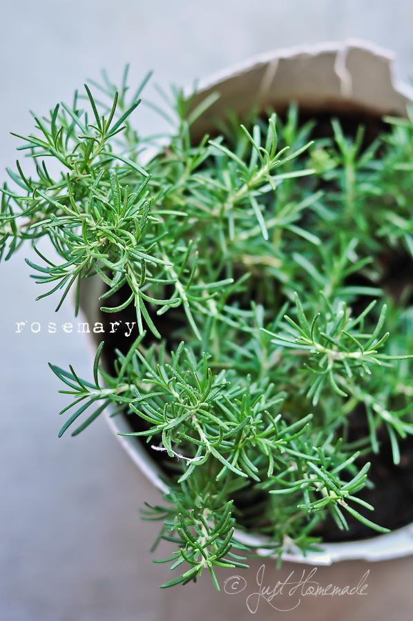 Rosemary in telugu